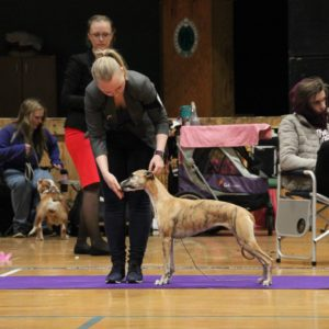 Brilliant Pearl's Crazy Pumpkin (Ibux) - NAT DOG SHOW, Norsk Miniatyrhund klubb Varhaug 2018-03-25