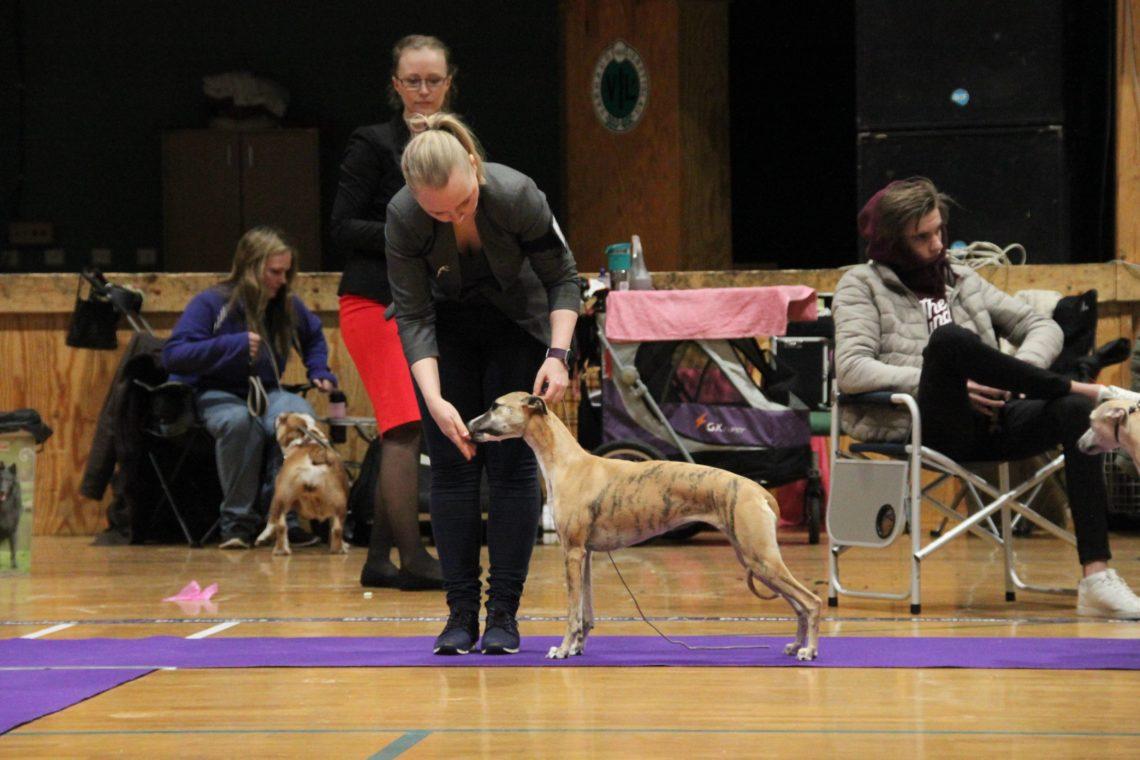Brilliant Pearl's Crazy Pumpkin (Ibux) - Nasjonal Utstilling Norsk Miniatyrhundklubb Varhaug 2018-03-25