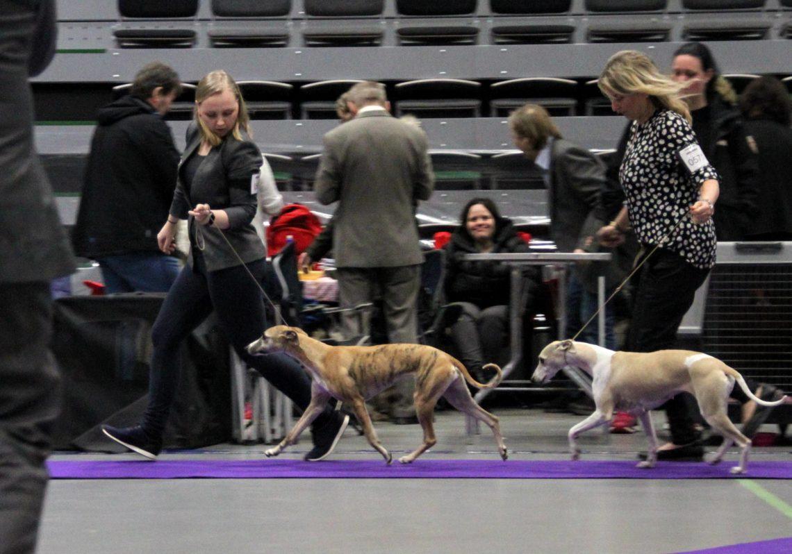 Courtborne Rose (Mia) Nasjonal Utstilling Norsk Miniatyrhundklubb Varhaug 2018